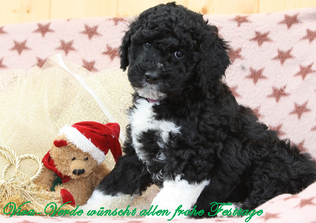 hunde zucht barbet franzoesischer wasserhund hunde kaufen hundezucht barbet schweiz welpen. Black Bedroom Furniture Sets. Home Design Ideas